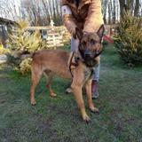 Narnia, Chien berger belge malinois à adopter