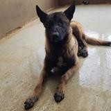 Patch, Chien berger belge malinois à adopter