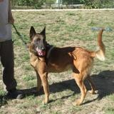 Sam, Chien berger belge malinois à adopter