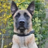 Teck chao10390, Chien berger belge malinois à adopter