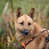 Maco haa22571, Chien berger belge malinois à adopter