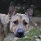 Karma chao10904, Chien berger belge malinois à adopter
