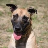Libby chao9908 dit milly, Chien berger belge malinois à adopter