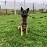 Paco, Chien berger belge malinois à adopter