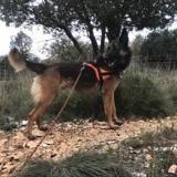 Bambi, Chien berger belge malinois à adopter