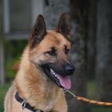 Rex, Chien berger belge malinois à adopter