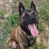 Odyssee dit rosco, Chien berger belge malinois à adopter