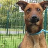 Punky, Chien berger belge malinois à adopter