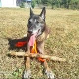 Physeur, Chien berger belge malinois à adopter
