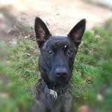 Marley qcn, Chien berger belge malinois à adopter