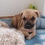Penny, Chiot berger croisé labrador à adopter