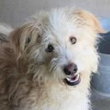 Alizee, Chien berger des pyrenees à adopter