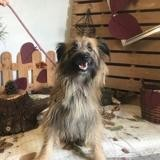 Nuts, Chien berger des pyrenees à adopter