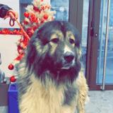 Nouri, Chien berger du caucase à adopter