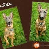 Bluerex, Chiot berger hollandais à adopter