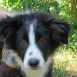 Nemes, Chiot border collie à adopter