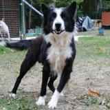 Bibi, Chien border collie à adopter