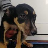 Tina(réservée), Chiot border collie à adopter