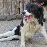 Mirka, Chien border collie à adopter