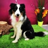 Wifi, Chien border collie à adopter