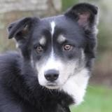 Boubou chao10483, Chien border collie à adopter