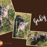 Gaby (réservée), Chien bouledogue francais à adopter