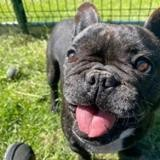 Lola, Chien bouledogue francais à adopter
