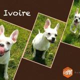 Ivoire, Chiot bouledogue francais à adopter