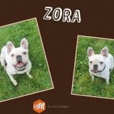Zora, Chien bouledogue francais à adopter