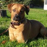 Java, Chiot boxer à adopter