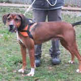 Coyote, Chien boxer à adopter