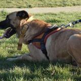 Belle, Chien boxer à adopter