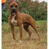 Tomy vaa21528, Chien boxer à adopter