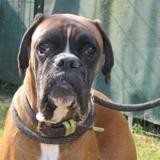 Rocky, Chien boxer à adopter