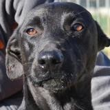 Simba, Chien braque à adopter