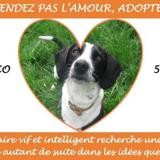 Pulco, Chien braque à adopter