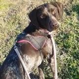 Woody, Chien braque à adopter