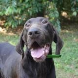 Mabrouk chao11369, Chien braque à adopter