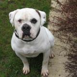 Marlo, Chien bull dog americain à adopter