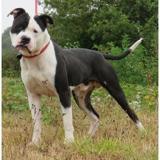 Clovis dit marley vaa20916, Chien bull dog americain à adopter