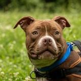 Venus dit mia, Chien bull dog américain à adopter