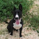 Simba, Chien bull terrier à adopter