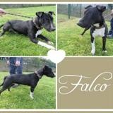 Falco, Chien bull terrier à adopter