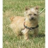 Mc crory vaa21714, Chiot cairn terrier à adopter