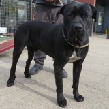 Spack, Chien cane corso à adopter