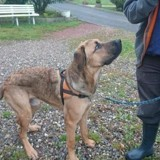 Nanouke, Chiot cane corso à adopter