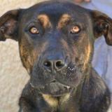 Aron haa22006, Chien cane corso à adopter