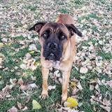 Jaya, Chien cane corso à adopter