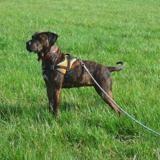 Lana, Chien cane corso à adopter
