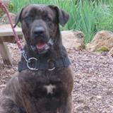 Douck, Chien cane corso à adopter